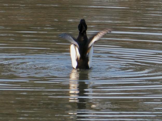 池の上で羽ばたくキンクロハジロ - 5