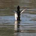 Photos: 池の上で羽ばたくキンクロハジロ - 5