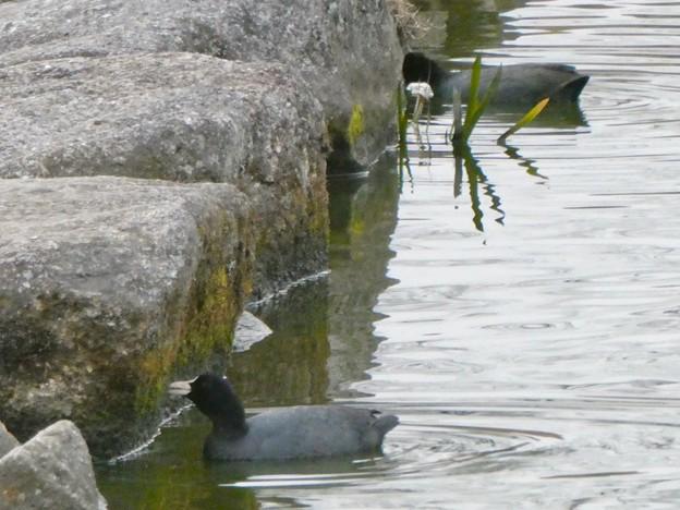 池沿いの石についたコケ?を食べていたオオバン - 2