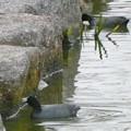 Photos: 池沿いの石についたコケ?を食べていたオオバン - 2