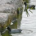 池沿いの石についたコケ?を食べていたオオバン - 3