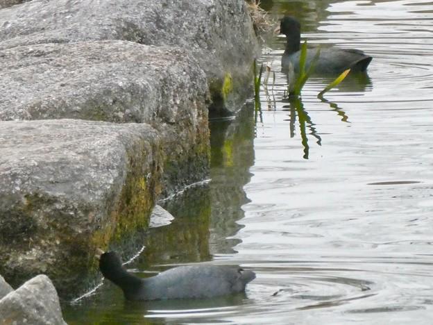 池沿いの石についたコケ?を食べていたオオバン - 4