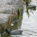 Photos: 池沿いの石についたコケ?を食べていたオオバン - 4
