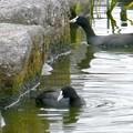 池沿いの石についたコケ?を食べていたオオバン - 5