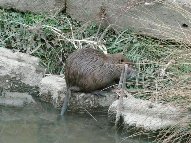 八田川沿いの草を食べていたヌートリア - 6