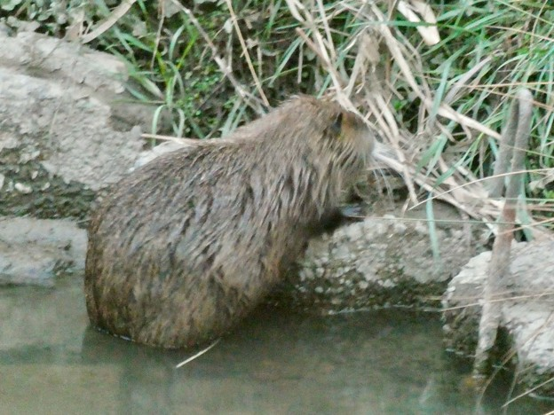 八田川沿いの草を食べていたヌートリア - 2