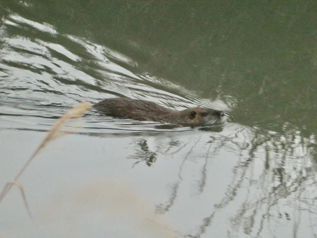 八田川を泳いでたヌートリア