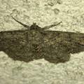 白い壁にいた波模様の蛾 - 1
