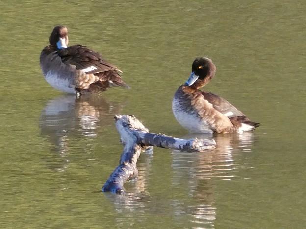 池に沈む木の上にいた、キンクロハジロのメス? - 3