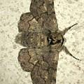 縞模様のある蛾 - 2