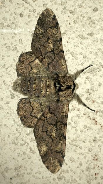 縞模様のある蛾 - 3