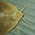 黒い斑点のある茶色い蛾 - 2