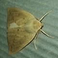 黒い斑点のある茶色い蛾 - 1