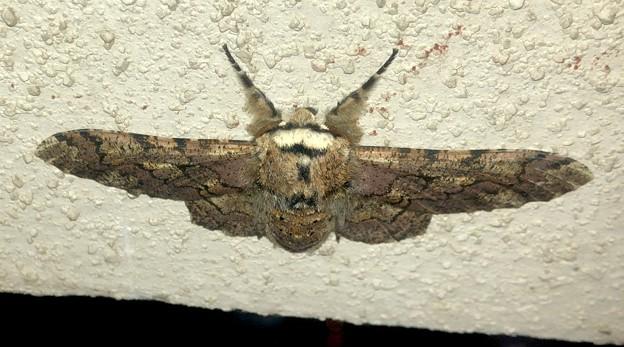 縞模様のある蛾 - 4