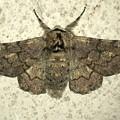縞模様のある蛾 - 1