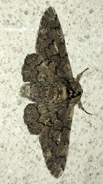 縞模様のある蛾 - 5
