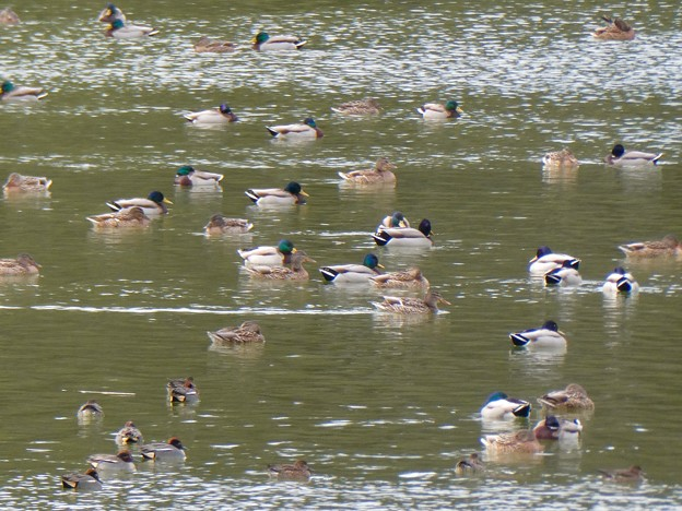 岩本池にいた沢山の水鳥 - 2