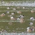 Photos: 岩本池にいた沢山の水鳥 - 2