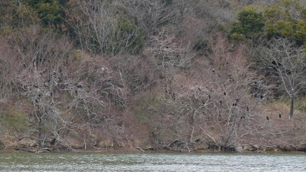 岩本池沿いの木の上に集まってたカワウ