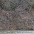 Photos: 岩本池沿いの木の上に集まってたカワウ