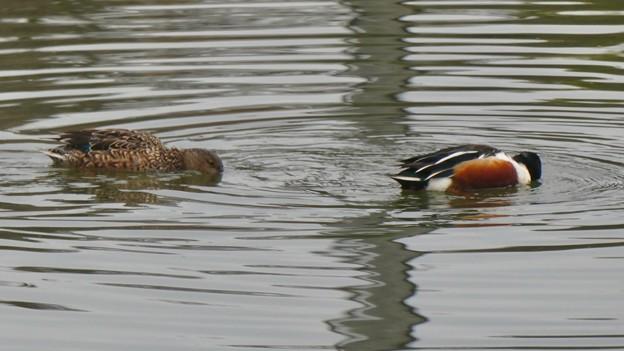 池の上をぐるぐる周りながら餌を取っていたハシビロガモのつがい - 1