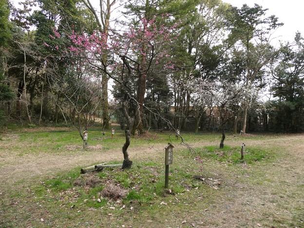 愛知県森林公園 植物園:梅園 - 2