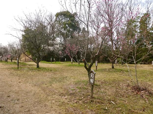 愛知県森林公園 植物園:梅園 - 5