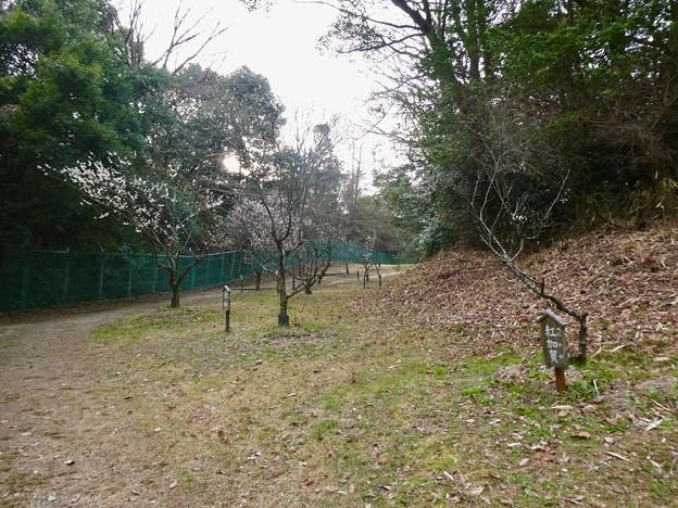 愛知県森林公園 植物園:梅園 - 4