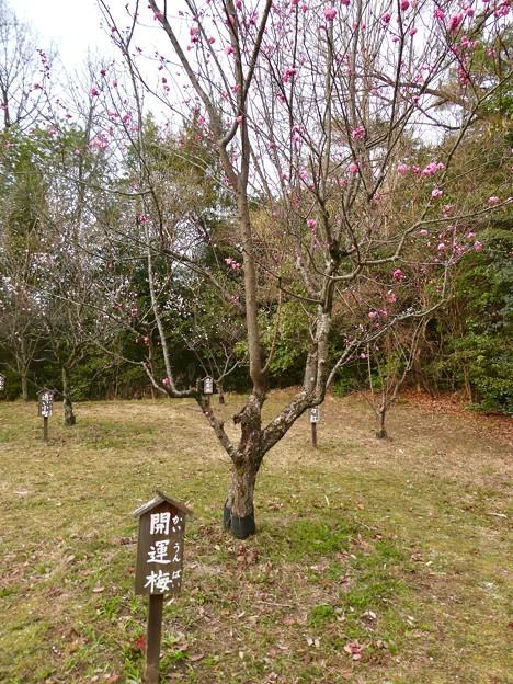 愛知県森林公園 植物園:梅園 - 6(「開運梅」と言うめでたい名前の梅)