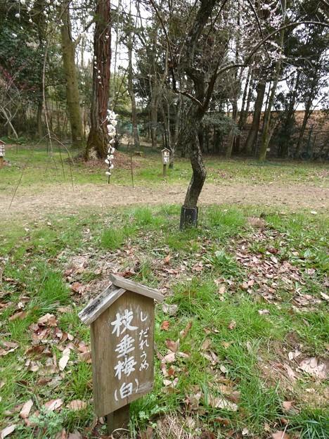 愛知県森林公園 植物園:梅園 - 3(しだれ梅)