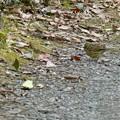 池沿いの小道にいたアオジ - 4
