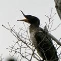 Photos: 木の上であくびをするカワウ - 3