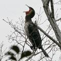 Photos: 木の上であくびをするカワウ - 1