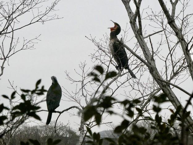 木の上であくびをするカワウ - 2