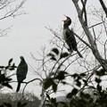 Photos: 木の上であくびをするカワウ - 2