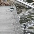 緑ヶ池にもいたセグロセキレイ - 3