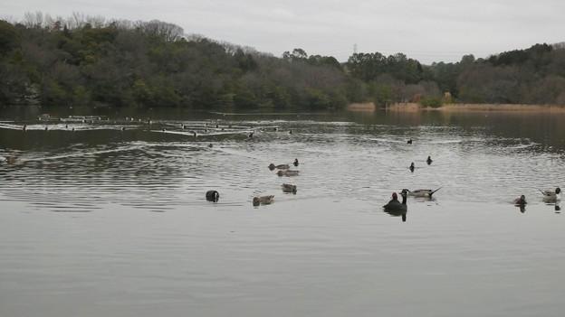 緑ヶ池にいる様々な水鳥の群れ