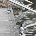 緑ヶ池にもいたセグロセキレイ - 4