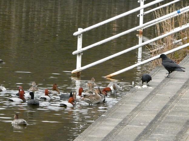 誰かが置いた食べ物に集まっていた水鳥とカラス - 1