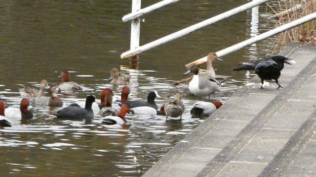 誰かが置いた食べ物に集まっていた水鳥とカラス - 3