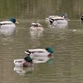竜巻池に集まってた水鳥の群れ - 1