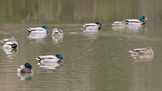 竜巻池に集まってた水鳥の群れ - 2
