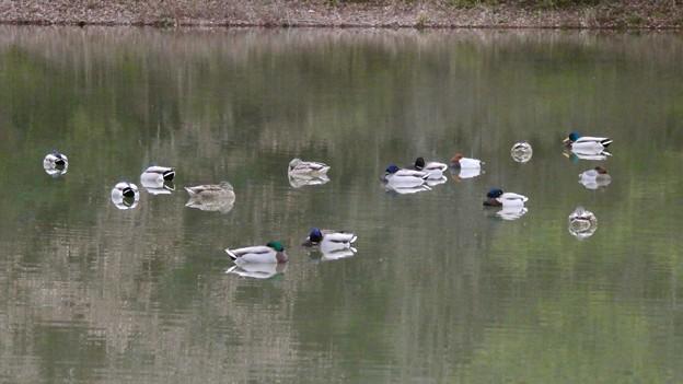竜巻池に集まってた水鳥の群れ - 4