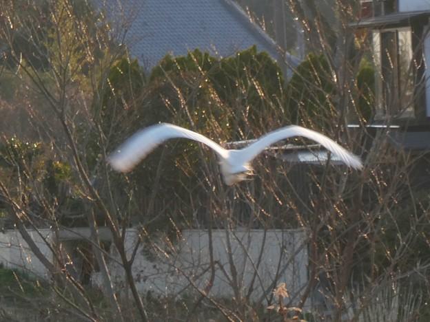 空を飛ぶシラサギ - 2