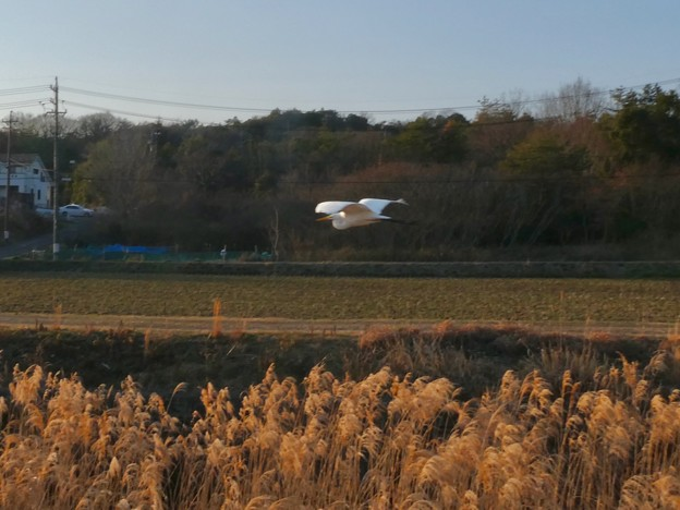 空を飛ぶシラサギ - 1