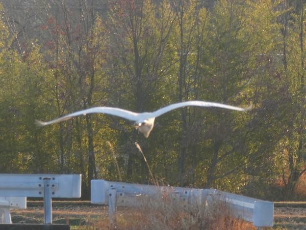 空を飛ぶシラサギ - 3