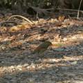 東谷山の登山道にいたソウシチョウ - 2