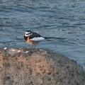 庄内川沿いの石の上を飛んで移動していたハクセキレイ
