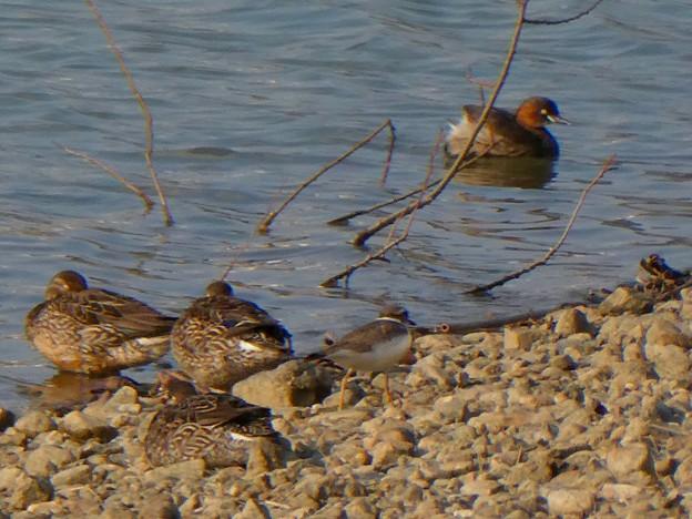 池のフチを歩くコチドリ - 1:コガモとカイツブリの横を歩くコチドリ