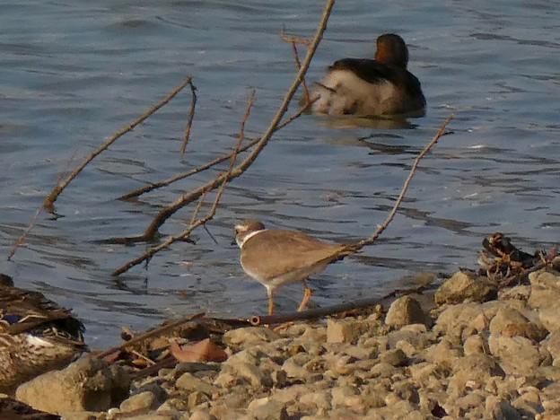 池のフチを歩くコチドリ - 2:コガモとカイツブリのすぐ近くを歩く